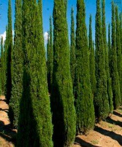 Estos árboles ocasionan rinitis y conjuntivitis