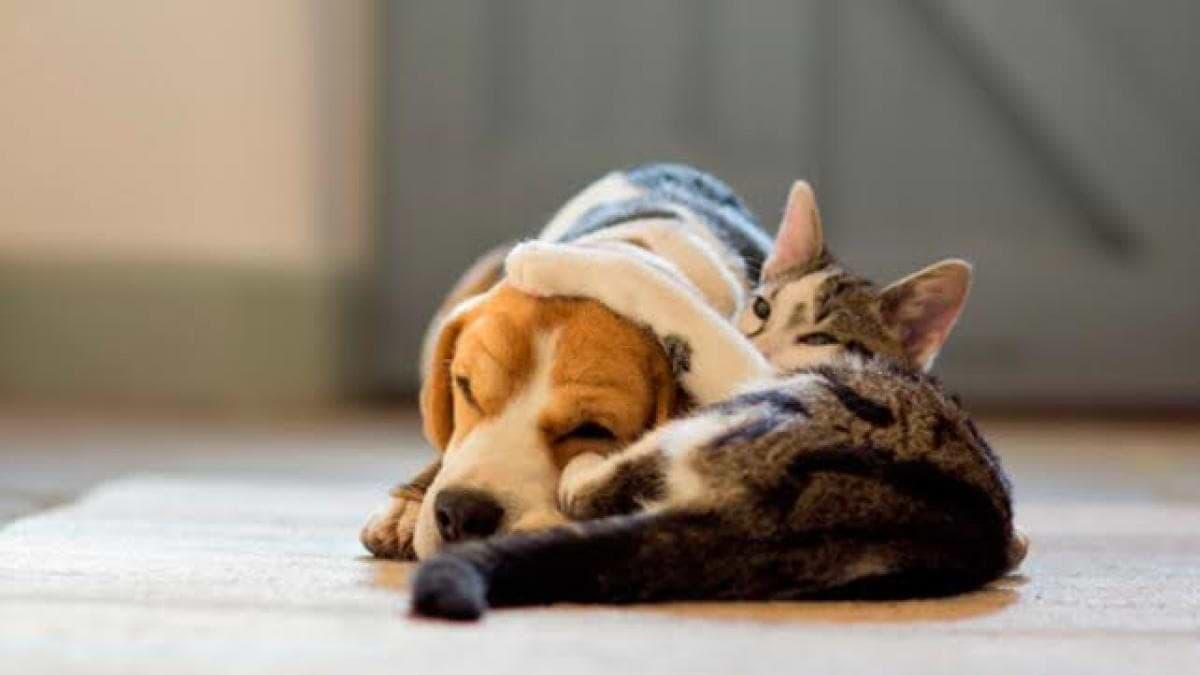 las mascotas y los pacientes asmaticos
